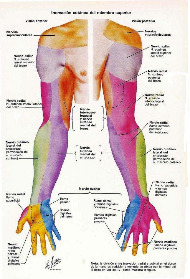 Mejores 27 imágenes de Anatomia - Miembros Superiores y Inferiores ...