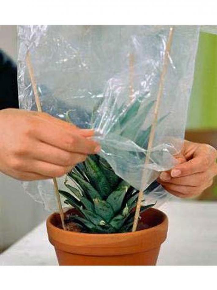 die besten 17 ideen zu ananas pflanzen auf pinterest. Black Bedroom Furniture Sets. Home Design Ideas
