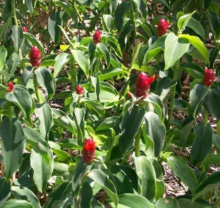 """Image result for Costus scaber or """"Indianhead costus"""