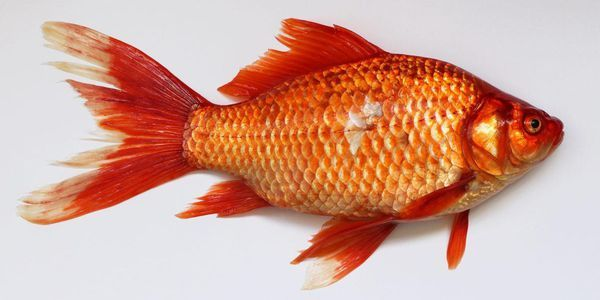 5 Innovations In Aquaculture Worth Catching On To Now In 2020 Golden Fish Fish Goldfish