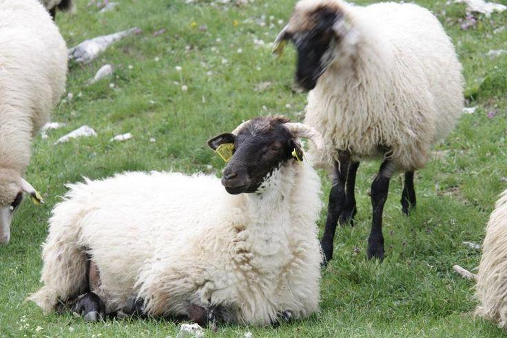 Милые овечки - теплые шерстяные вещи для вас в Дурмиторе  #прогулка#дурмитор#черногория#горы#балканы#походы#туризм#альпинизм#скалолазание#долгожители#горцы#отдых#поход#горы#путешествие#путешествия#путешествуем#путешествуй#путешествовать #путешествую#турист#туристы#поездка#отпуск#отпуск2016#отдых #отдыхаем#заграница#тур#путь