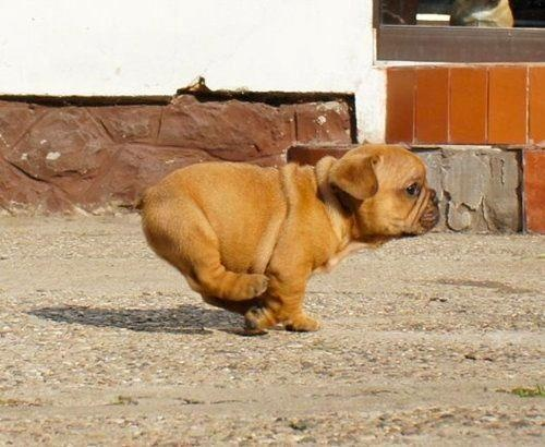 This is too cute!: Forests, French Bulldogs, Little Puppies, English Bulldogs Puppies, So Cute, Running Faster, Rolls, Chubby Puppies, Animal