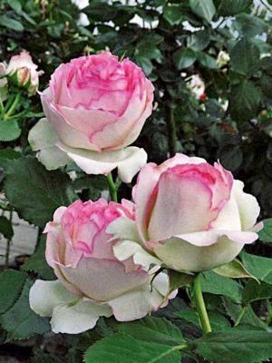 ROSIER GRIMPANT 'PIERRE DE RONSARD' : Il doit son charme à sa forme de fleur ancienne, bien formée et compacte, avec un tendre et délicat coloris crème rosé. Elle dégage un agréable parfum de mousse verte. Ce grimpant est robuste et remontant : Il refleurit bien tout au long de l'été. A utiliser sur un mur, une pergola, un treillis ou le long d'une barrière. Mois de floraison : de juin à octobre. Exposition : ensoleillé.