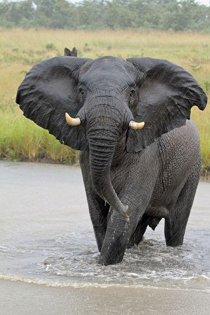 charge! | When you like, share, or follow IvoryForElephants..., help us gain media $$ to help save them. #ivoryforelephants #stoppoaching #elephants for #ivory ! #animals #killthetrade
