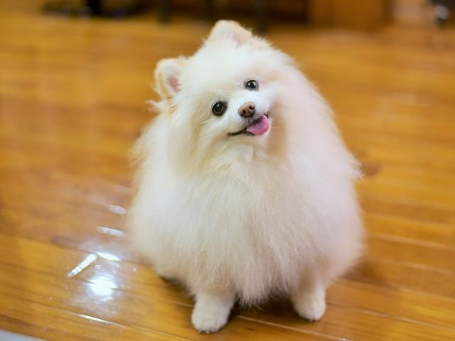 保護 犬 ポメラニアン