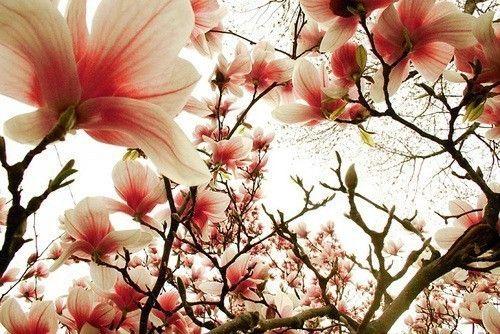 ~magnolia~
