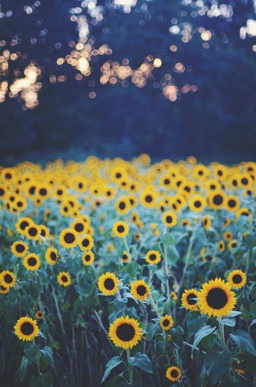 My favorite flower: Sunflowers