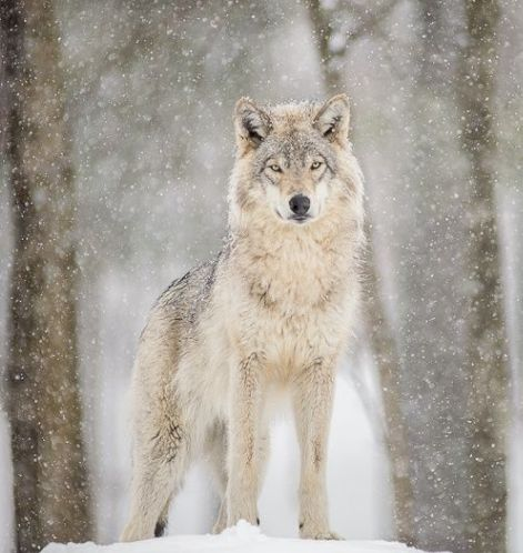 wolfsheart-blog: Wolf In snow byby Maxime Riendeau