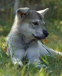 The Tamaskan Dog is a rare dog breed of sleddog type, originating from Finland.