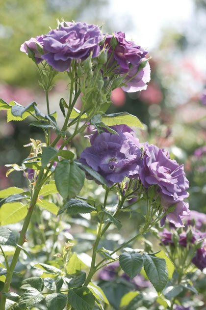 Wat is er nu mooier dan bloeiende rozen?