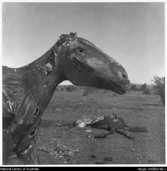 Nolan, Sidney, Sir, 1917-1992. Two horse carcasses, Queensland, 1952, 2 [picture]