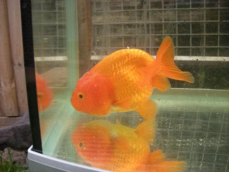 goldfish for sale | Fancy Goldfish For Sale - Private Collection