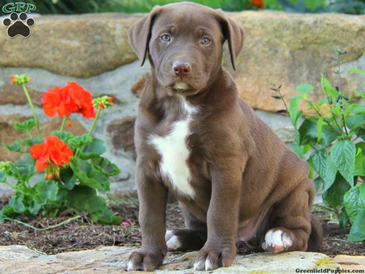 american bulldog lab mix Labrador Mix Puppies For Sale