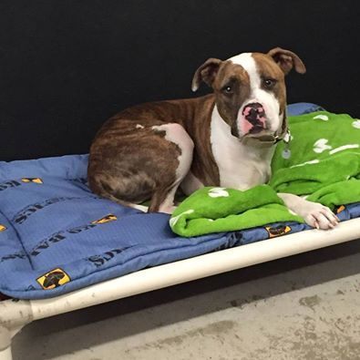 13 best every dog deserves a bed images on pinterest grandes camas this beautiful tripod dog is hershel he is a pitbull surrendered to 4 luv of solutioingenieria Image collections
