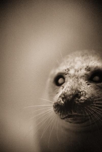 Henry Horenstein. Harbor seal