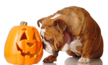 @ Nikki W    -    Top 3 Health Benefits of Pumpkin for Dogs and Cats   -   I KNOW this works. Our sick pup is all better because of pumpkin. Cats won't touch it though. Maybe bacon would help with the pumpkin and the cats.