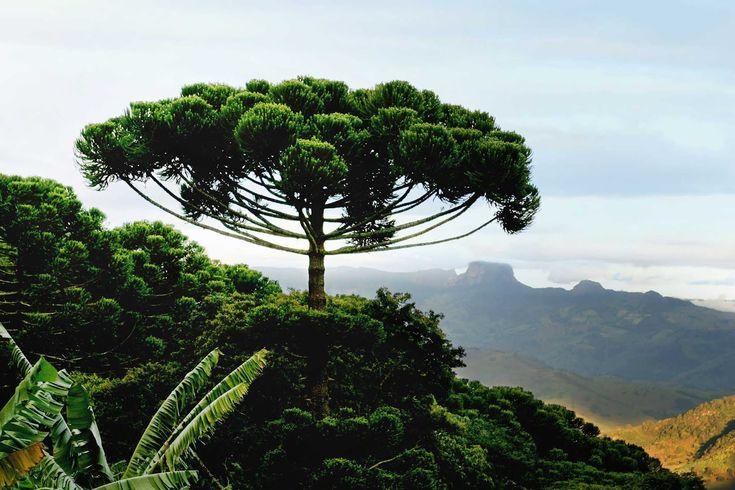 Araucaria Tree, from Brazil