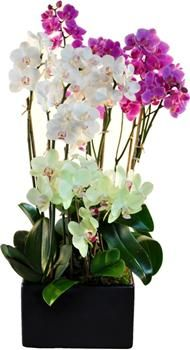 Orchid Rainbow at Orchids.Nyc shop.
