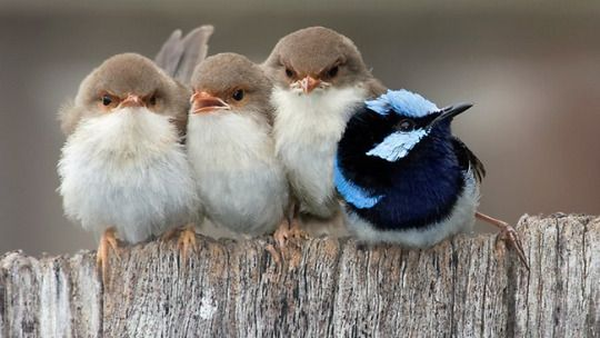 Cuddling fairy wrens. (48) Tumblr