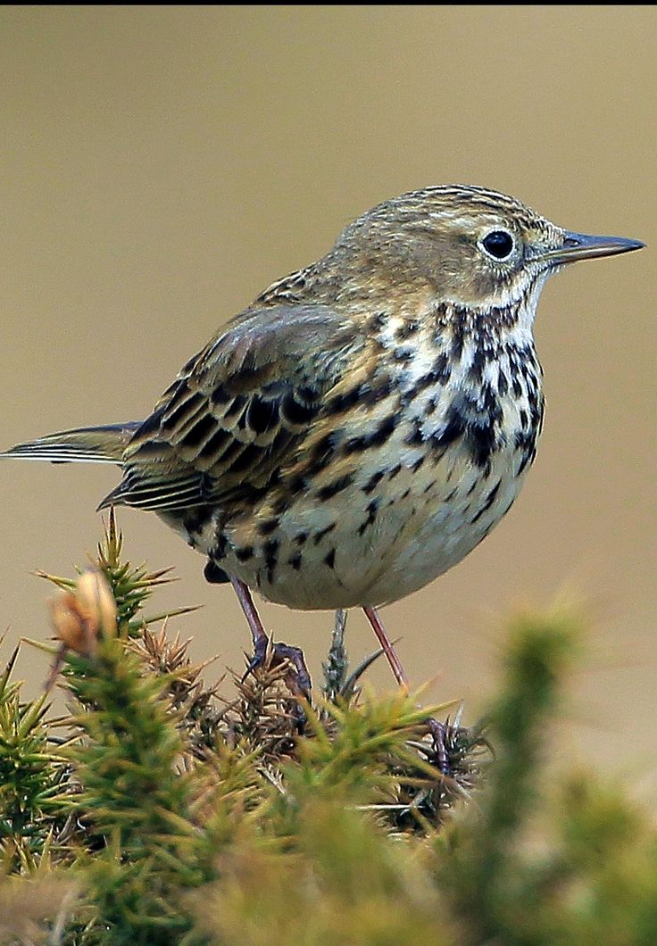 The Meadow Pipit (Anthus pratensis) is a small passerine bird which breeds in much of the northern half of Europe and also northwestern Asia, from southeastern Greenland and Iceland east to just east of the Ural Mountains in Russia, and south to central France and Romania; there is also an isolated population in the Caucasus Mountains.