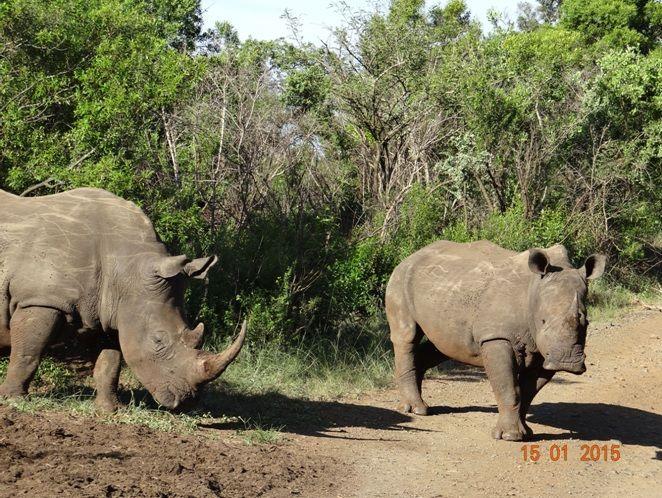 White Rhinos on a Durban safari Tour with Tim Brown Tours to Hluhluwe Imfolozi game reserve