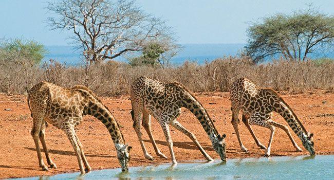 Girafas no Parque Nacional Tsavo Oeste, no Quênia, ajoelham-se para beber água.          Haroldo Castro