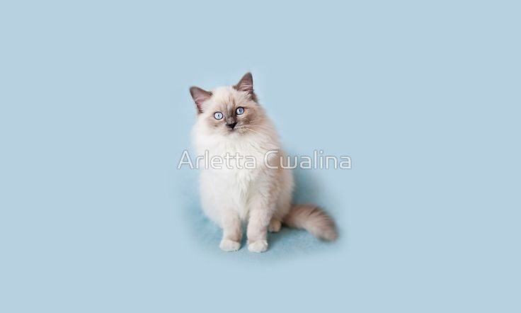 Blue eyes Ragdoll kitten portrait on the mug. #ragdoll #cat #kitty #kitten #product #gift #mug #cup #Redbubble #blueeyes #blue #pet #animal #cute