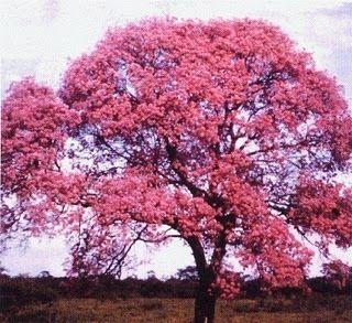 Resultado de imagen para maquilishuat arbol nacional de el salvador