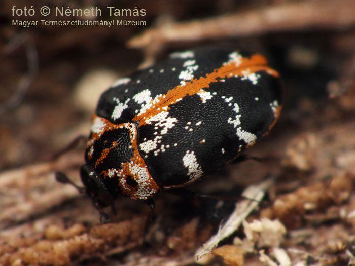 Északi nagy múzeumbogár (Anthrenus scrophulariae scrophulariae)