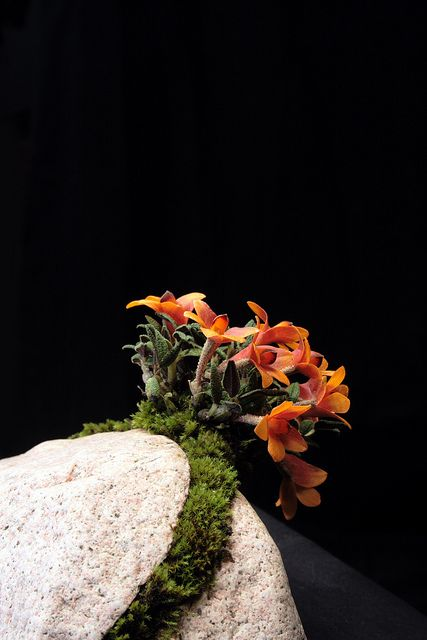 Dendrobium cuthbertsonii - Hygrolon® mount on granite stone. The stone is split and separated to create a crevice to place the Hygrolon and the roots.