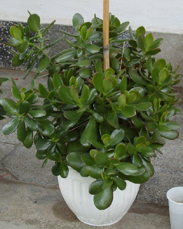 majomfa - crassula ovata (novenytar.krp.hu)