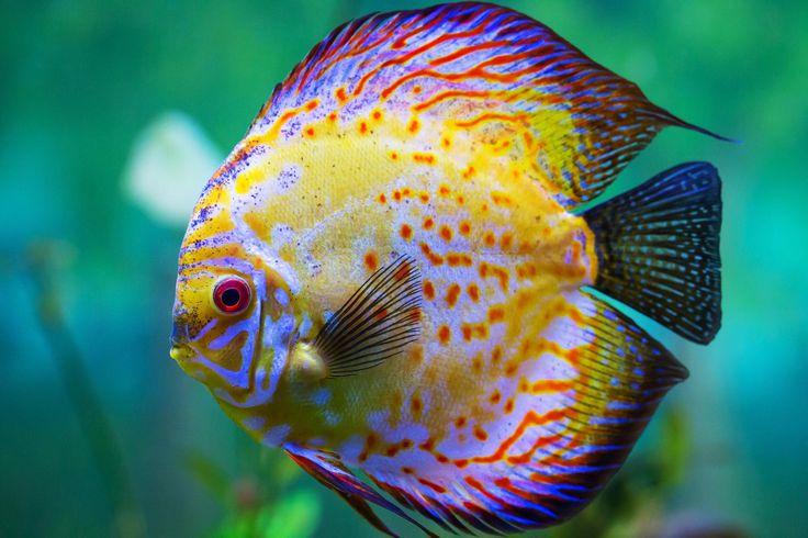 Amazing Discus Fish Picture
