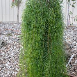 Feature   Advanced Trees   Wholesale Nursery - TGA Australia