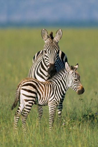 Mother Plains Zebra And Colt at Serengeti Plains in East Africa (Kenya) - photo by Wayne Lynch / Getty Images