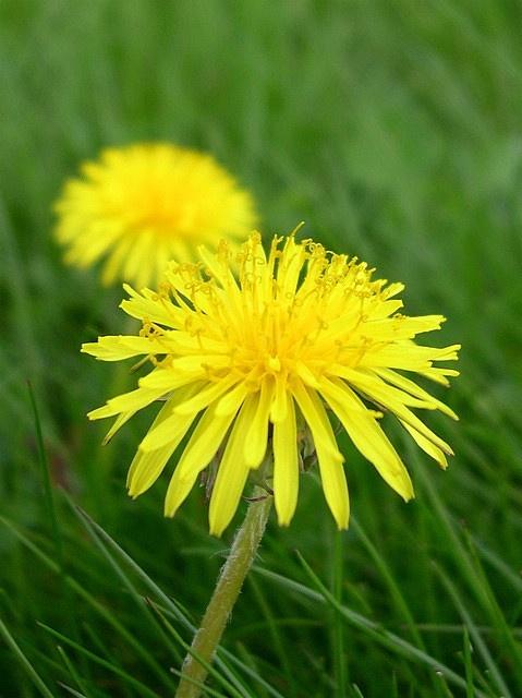 """Pampeliška - měla by se spíše v zahradách pěstovat, zatím proti ní však mnoho zahradníků bojuje chemickými prostředky. A přitom se dá jíst, uplést z ní věnce či vyrobit """"med"""". Článek: http://vysnenazahrada.blogspot.cz/2012/04/pampeliska-zlaty-dukatek-v-zahrade.html"""