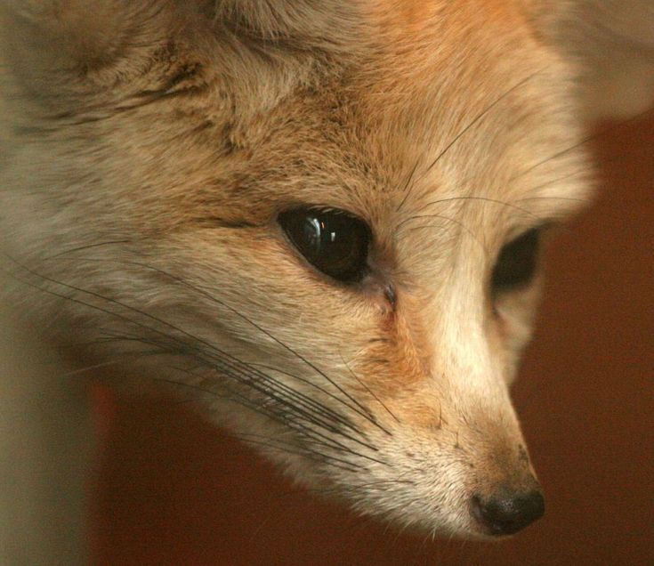 one of the many exqisite species of fox - the fennec fox