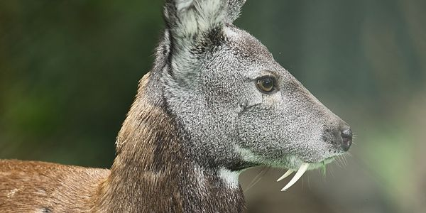 ALL* the fanged deer species *except some of these have multiple species therein Water Chevrotain (in the family Tragulidae, not cervidae, like true deer) Musk Deer (In the family Moschidae) Tufted...