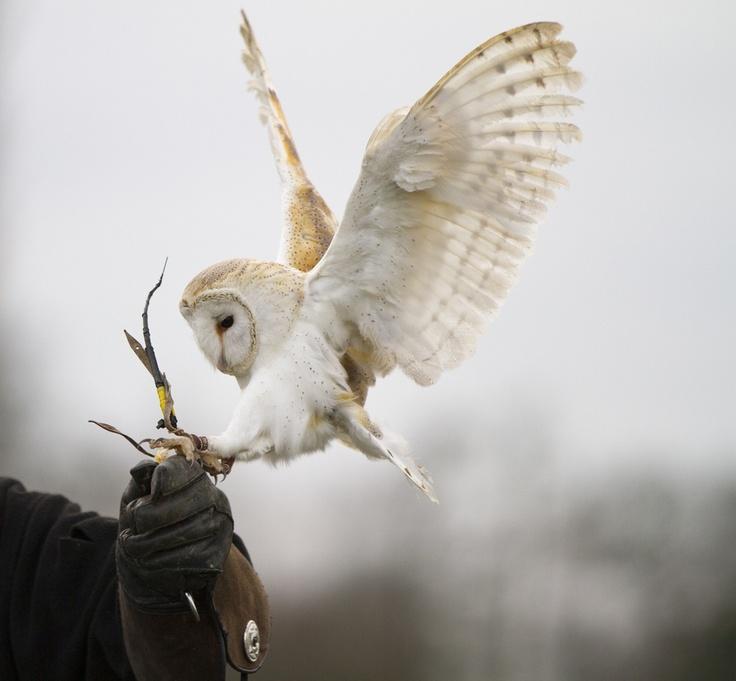 Barn Owl landing on a gauntlet