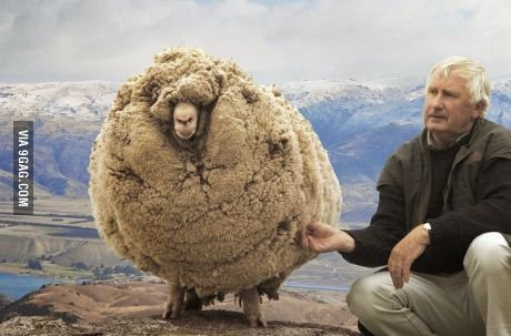 This is Shrek, the renegade sheep that escaped and avoided shearing for 6 years.