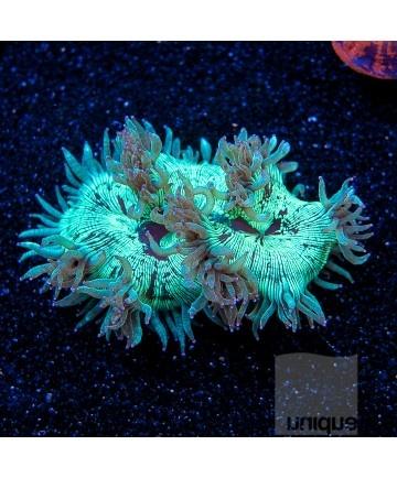 17 best images about saltwater coral on pinterest for Aquarium elegance