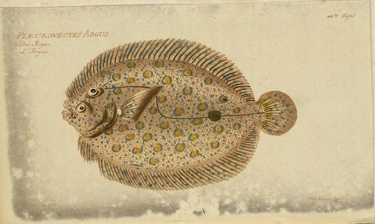 Pleuronectes argus fish from Oekonomische Naturgeschichte der Fische Deutschlands
