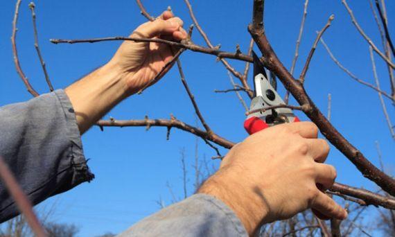 Kerti munkák  -február :gyümölcsfák metszése