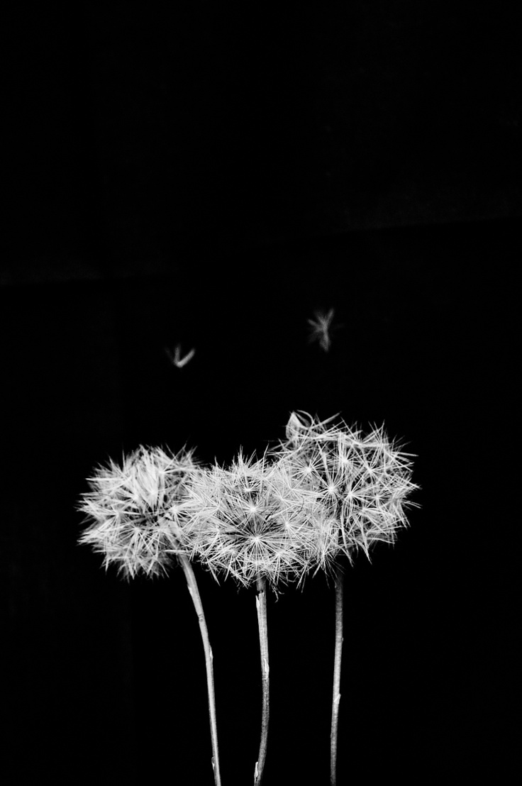 Nature #dandelion #nature #BW #blackandwhite #garden #weed