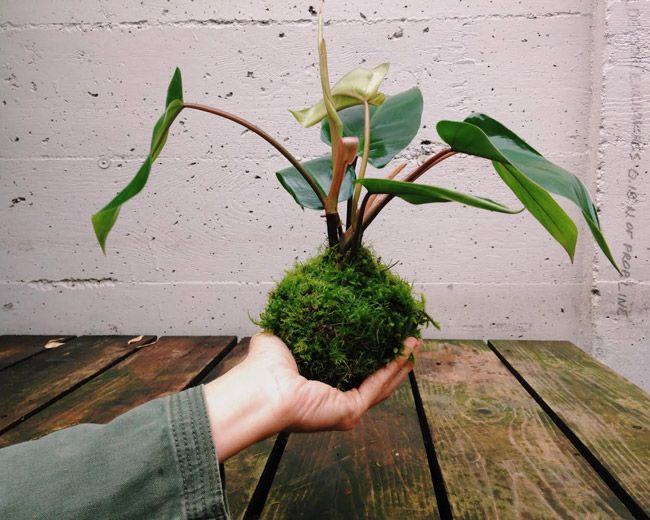 "Learn to make your own Kokedama String Gardens - tropical plants whose roots have been bound in sphagnum moss to become beautiful living ""moss balls""."