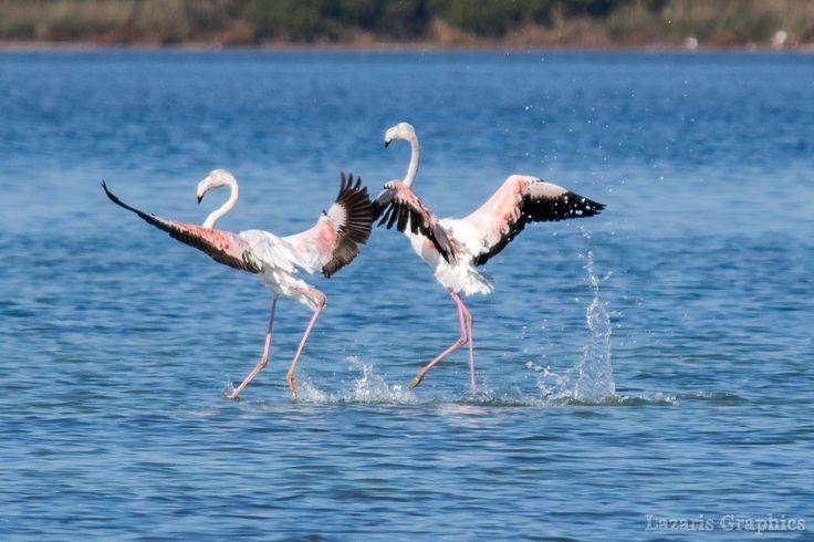 Birdwatching στις υπέροχες λιμνοθάλασσες της πόλης της Λευκάδας, εκεί που ξεχειμωνιάζουν τα υπέροχα φλαμίγκος, τα μοναδικά ροζ πουλιά που με τις χορευτικές φιγούρες τους και τα ρομαντικάενσταντανέ τους που εντυπωσιάζουν και προκαλούν να τα φωτογραφίσεις. Οι λιμνοθάλασσες Παλιώνης και Αυλέμονας ανατολικά και βόρεια της πόλης της Λευκάδας περιλαμβάνονται στο δίκτυο Natura 2000και είναι από τους …