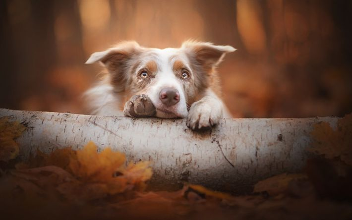Download wallpapers Border Collie, forest, autumn, sweet brown dog, pets