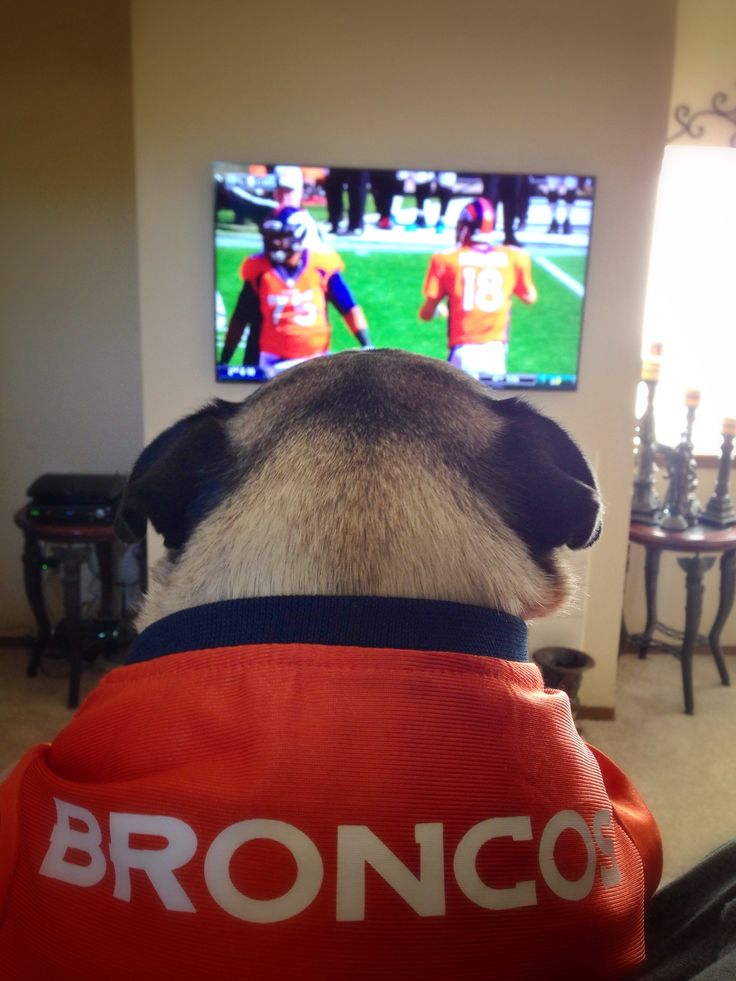 Bronco Fan...this pug knows what's up!