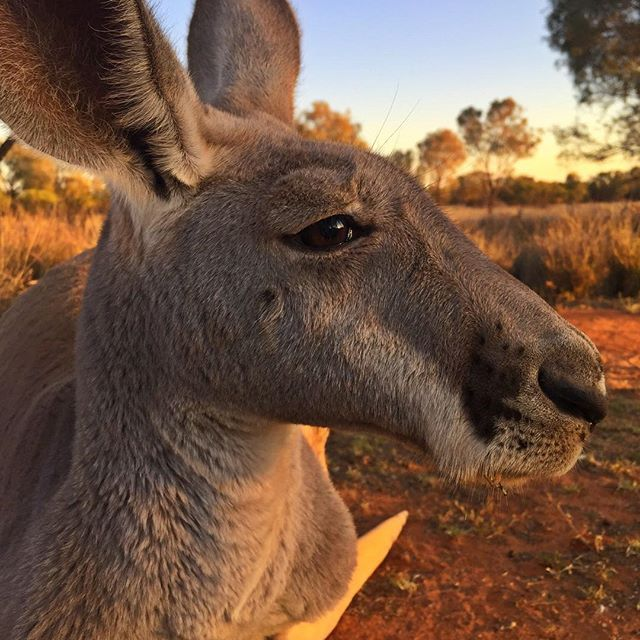 thekangaroosanctuary Who remembers Rex from Kangaroo Dundee series 2 when he was just a tiny orphan