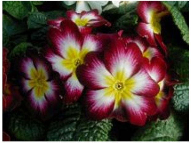 my birth month 39 s flower primrose possible next tattoo pinterest births primroses and. Black Bedroom Furniture Sets. Home Design Ideas