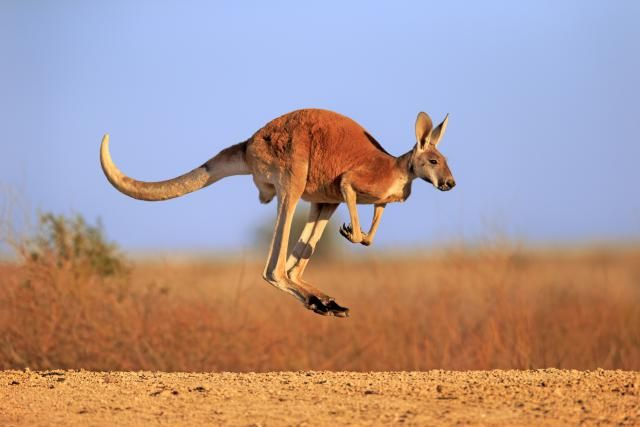 10 Facts About Australia That Aren't Quite True: Kangaroos are highly intelligent (and everywhere)